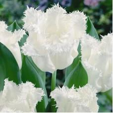Тюльпан Бахромчатый Визионер