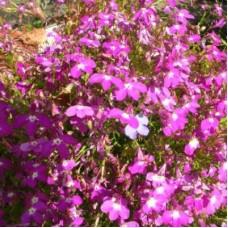 Лобелия прямостоячая  Розовая