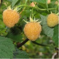 Малина желтоплодная Алтайская десертная