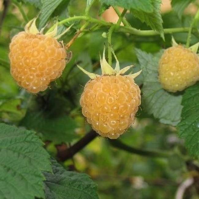 картинка малина желтая ягода она готовит руководителей