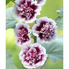 Мальва розовая Крем де Кассис