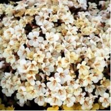 Мимулюс крупноцветковый Белый