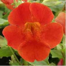 Мимулюс крупноцветковый Красный двухветный