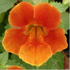 Мимулюс крупноцветковый Оранжевый
