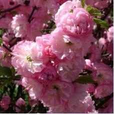 Миндаль трехлопастной Розовое облако