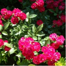 Роза миниатюрная Альберих