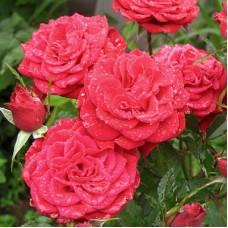 Роза миниатюрная Данко Писта