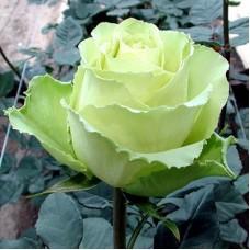 Роза миниатюрная Хай Шериф