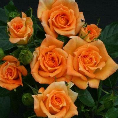 Роза миниатюрная Мэриголд Свит Дрим