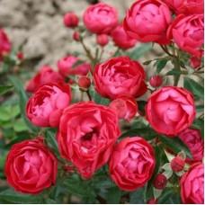 Роза миниатюрная Мутертаг