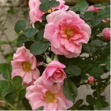 Роза миниатюрная Пинк Симфония