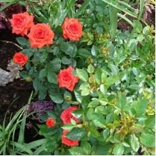 Роза миниатюрная Шрим Хит