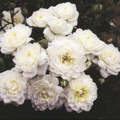 Роза миниатюрная Сноу Кеп
