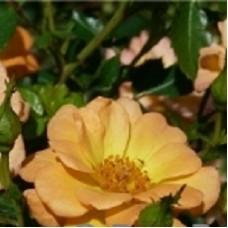 Роза миниатюрная Свит Мэджик