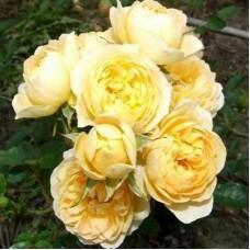 Роза миниатюрная Свит Меморис