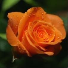 Роза миниатюрная Топ Хит