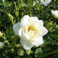 Роза миниатюрная Вайт Кове