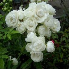 Роза миниатюрная Вит Морсдаг