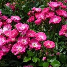 Роза миниатюрная Дегенхарт