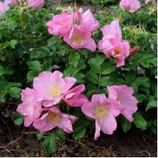 Роза морщинистая Дагма Хаструп