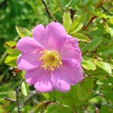 Роза виргинская