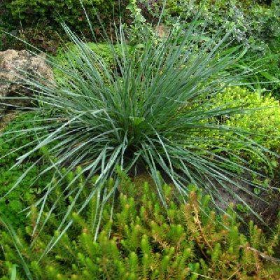 Овсец вечнозеленый Пендула