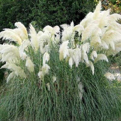 Пампасная трава Пумила