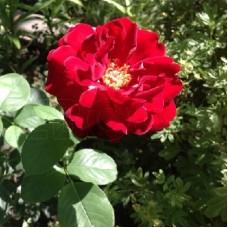 Роза парковая Лихтерло