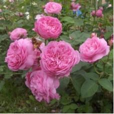 Роза парковая Луис Одьер