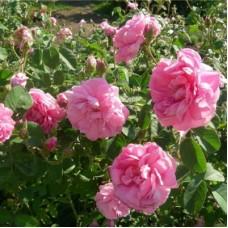 Роза парковая Петрина