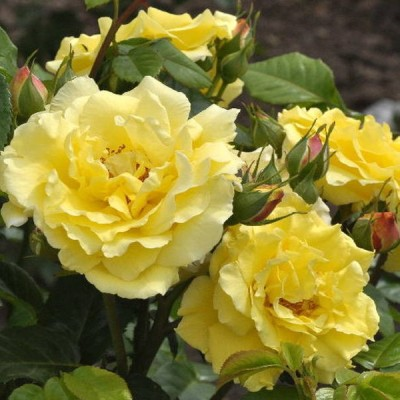 Роза парковая Рейн Лючия