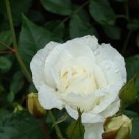 Роза парковая Шнеевиттхен