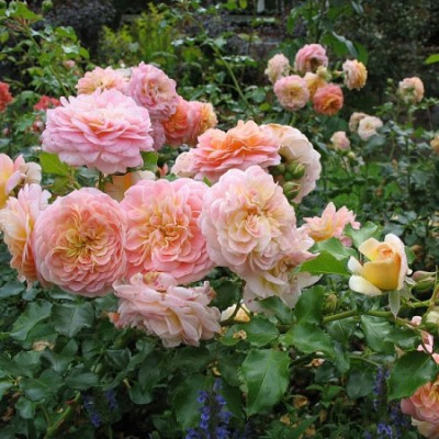 Роза парковая Концерто 94