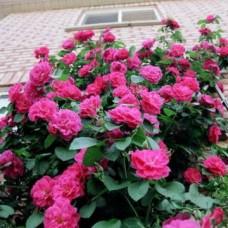 Роза парковая Кримсон Винтер Джевел