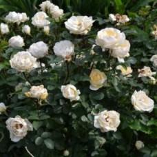 Роза парковая Милли Винтер Джевел