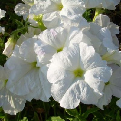 Петуния крупноцветковая Белая
