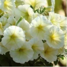 Петуния крупноцветковая Белая с желтыми жилками