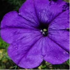 Петуния крупноцветковая Фиолетовая
