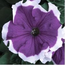 Петуния крупноцветковая Хулахуп Фиолетовая с белой каймой
