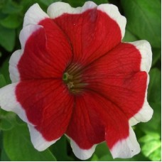 Петуния крупноцветковая Хулахуп Красная с белой каймой
