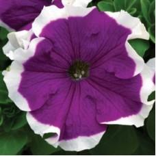 Петуния крупноцветковая Хулахуп Пурпурная с белой каймой