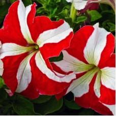 Петуния крупноцветковая Красная с белой звездой