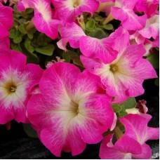 Петуния крупноцветковая Розовая с белой горловиной