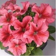 Петуния крупноцветковая  Розовая с красными жилками