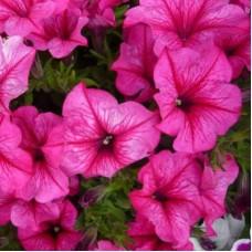 Петуния крупноцветковая Ярко-розовая