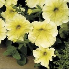 Петуния многоцветковая Белая с желтыми жилками