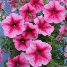 Петуния многоцветковая Розовая с малиновыми жилками