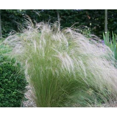 Ковыль волосовидный