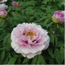 Пион древовидный Розовая пудра