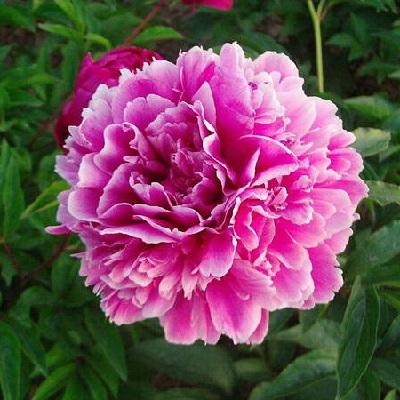 Пион травянистый Пурпурная Корона